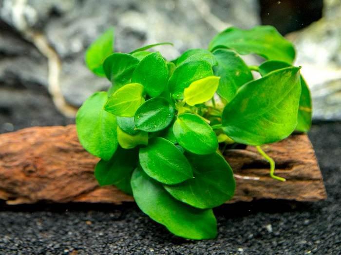 cây thủy sinh Anubias Nana Best Aquarium Plants |TOPMOST.VN
