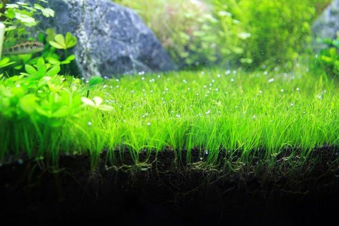cây thủy sinh Dwarf Hairgrass Best Aquarium Plants |TOPMOST.VN