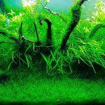 cây thủy sinh Java Moss Best Aquarium Plants |TOPMOST.VN