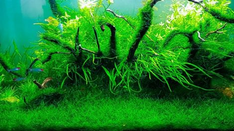 cây thủy sinh Java Moss Best Aquarium Plants  TOPMOST.VN